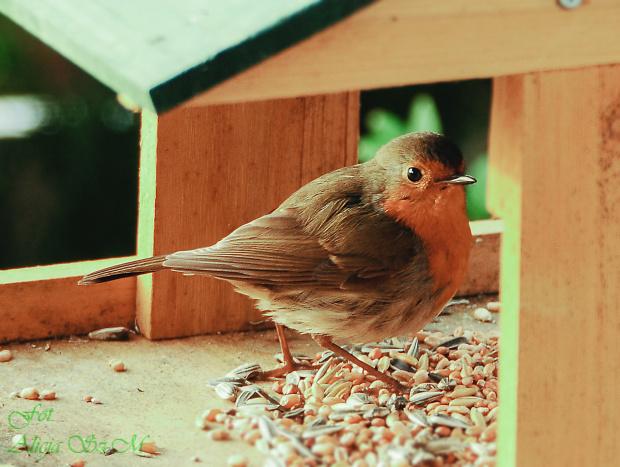 Rudzik, #ptaki #zima #ogrody #rudzik #kosy #modraszki #zieby