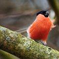 Gil,- #ptaki #sikorki #modraszki #zima #natura #fauna #alicjaszrednicka #fografia #foto #gimpel #gile