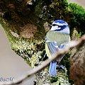 Modraszka w naturze :),- #grubodzioby #zięby #ptaki #zima #natura #fotografia #gile #modraszki #dzwonce alicjaszrednicka-mondritzki