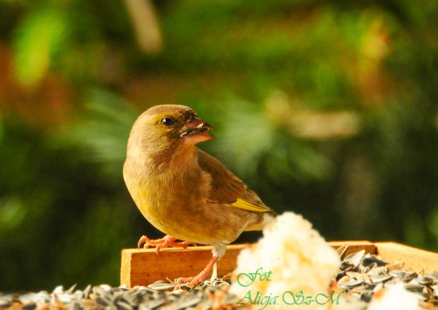 Dzwoniec,- #grubodzioby #zieby #ptaki #zima #natura #fotografia #gile #modraszki #dzwonce alicjaszrednicka-mondritzki