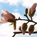 Magnolie #wiosna2019 #magnolie #natura #drzewa #kwiaty