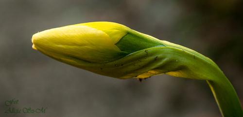 """""""wykluwajacy sie"""" Narcyz.. #wiosna #porzeczki #krzewy #narcyze #cesarskakorona #ogrody #natura #przyroda"""