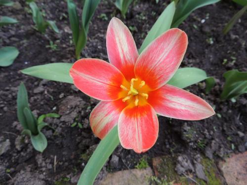 Tulipan a la gwiazda ;-)