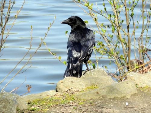 Czarnowron (Corvus corone corone)
