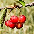Czeresniowy sezon.... #czeresnie #ogrody #natura #drzewa