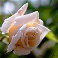Roze w moim ogrodzie.. #roze #ogrody #natura