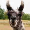 bardzo prosila o portret ,tak smiala sie do mnie ,ze nie moglam odmowic.:))) #lama #natura #zwierzeta