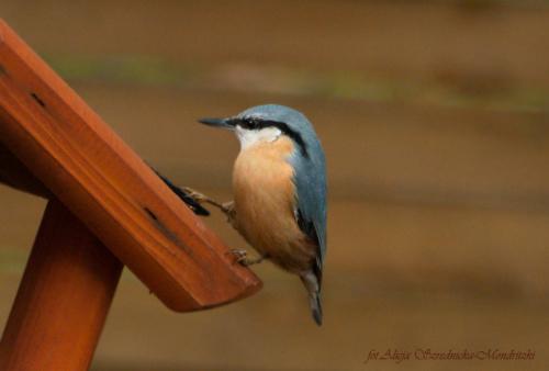 Kowalik #ptaki #Fink #zieby #kowalik #rudzik