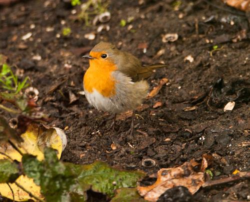 Rudzik,- #ptaki #Fink #zieby #kowalik