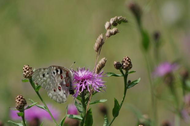 pieniński motyl
