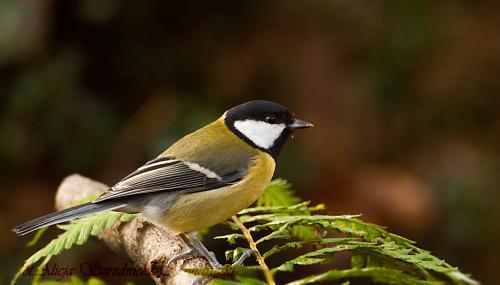 Bogatka #dzwonce #modraszki #zieby #ptaki #natura #przyroda