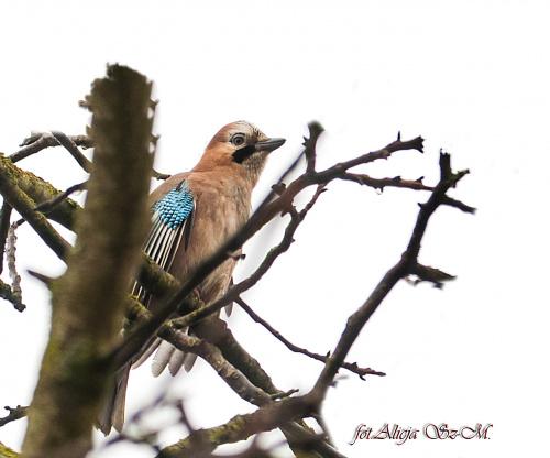 Sójka ,to co udalo mi sie uchwycic w jednej i niepowtarzalnej juz chwili po raz pierwszy raz w zyciu widzac tego ptaka w moim ogrodzie #Sójka #ptaki #natura #przyroda
