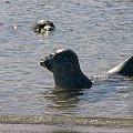 Seehundbänke,kolonia fok nieopodal Helgoland ,maja osobna wysepke i wielka plaze ,odpowiednie warunki ale i tam ludzie doplywaja i ich spokoj naruszaja/miedzy innymi i ja tam bylam/ #foki #seehunde #robben #morze #wyspy #helgoland