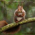 wiewiorka moknie w deszczu na orzechowym drzewie...;( #wiewiork #zwierzeta #przyroda #ogrody #jesien