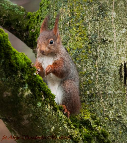 wiewiorka na orzechowym drzewie... #wiewiork #zwierzeta #przyroda #ogrody #jesien
