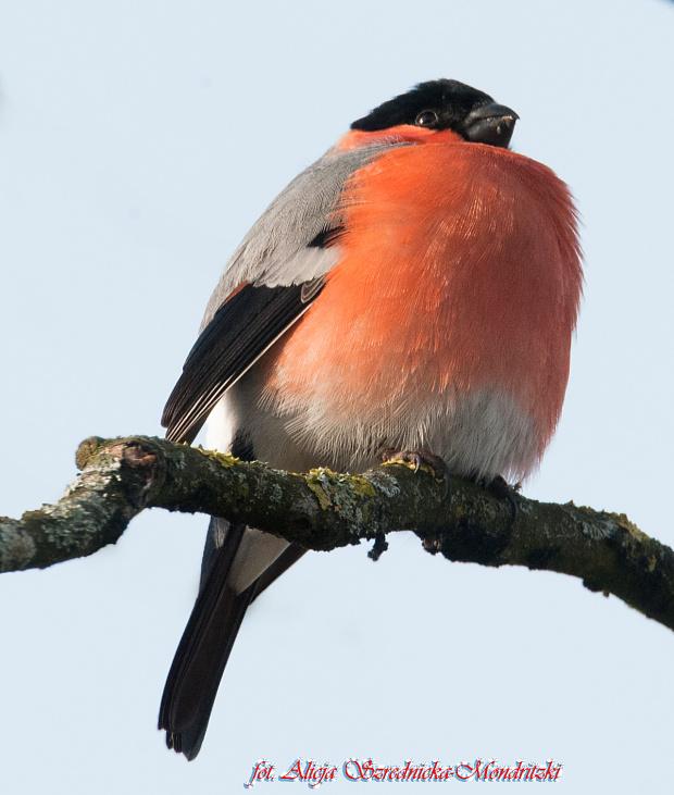 Gil. #ptaki #zwierzeta #natura