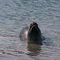 Seehundbänke,kolonia fok nieopodal Helgoland ,maja osobna wysepke i wielka plaze ,odpowiednie warunki #foki #seehunde #robben #morze #wyspy #helgoland