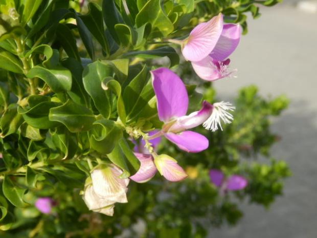 roślina lila