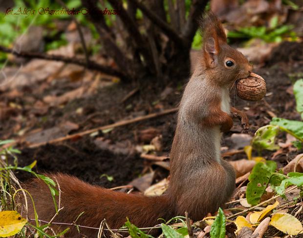 skacza,biegaja i stoja w moim szczawiu!! .... #zwierzeta #wiewiorki #ogrody #natura
