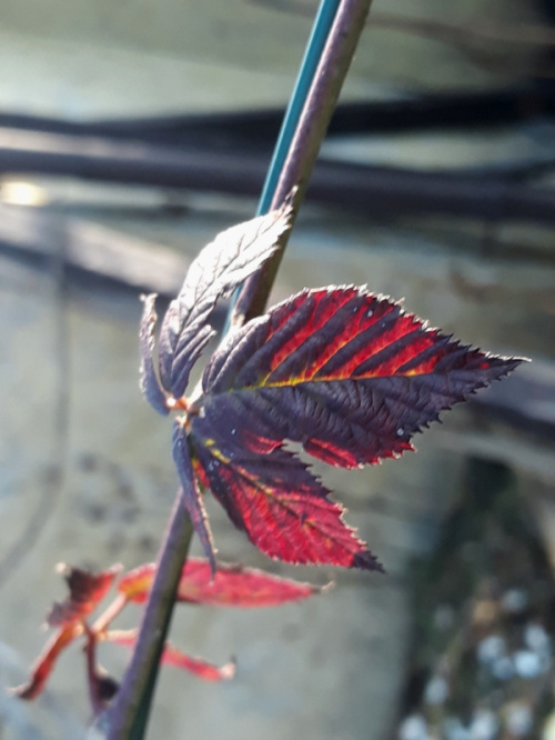 Liść jeżyny bezkolcowej