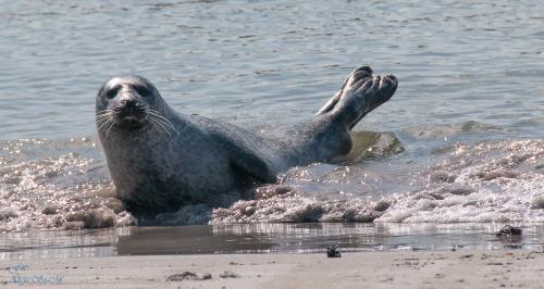 Kolonia Fok(Seehundebänke) przy Helgoland . #helgoland #morze #wyspy #foki #zwierzeta #seehunde