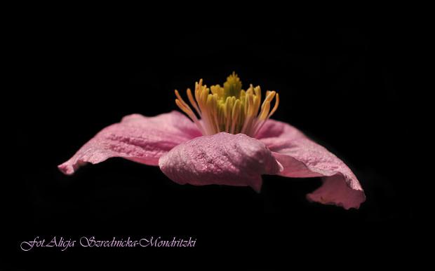 Clematis.- #Clematis #kwiaty #ogrody