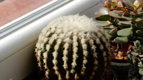 Echinocactus grusoni intermedius