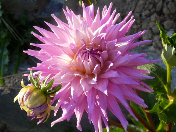 pink jupiter