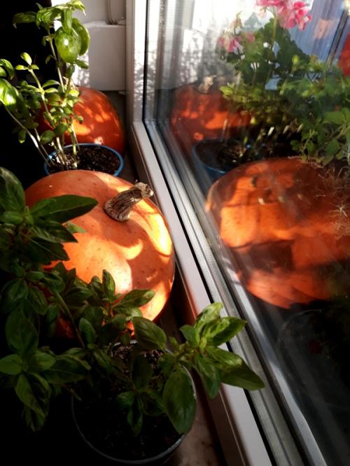 Dynia Hokkaido na kuchennym parapecie