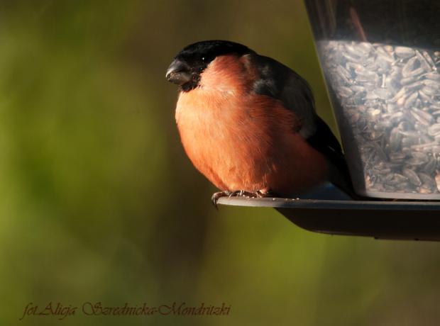 juz nadszedl czas, by otworzyc ptasie stolówki,i inne: https://alicjaszrednickamondr.com/blog-2/ #ptaki #gile #dompfaf #zdjecia #fotos #przyroda #natura