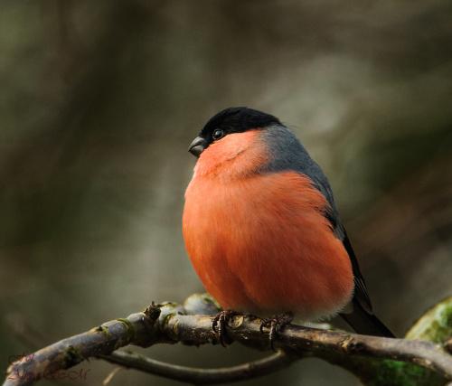 Gil,- #zieby #gile #ogrody #fotografia #natura #przyroda