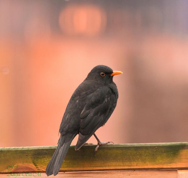 Kos:,- #rudzik #ptaki #ogrody #kosy #zima #alicjaszrednicka #NRW