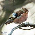 zięby.- #ptaki #natura #ogrody #zima #fotografia #alicjaszrednicka #zięby #buchfink
